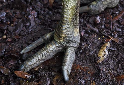 Cassowary-Foot